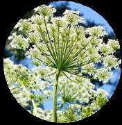 OnycoSolve: componentele naturale ale sprayului pentru micoza picioarelor și unghiilor